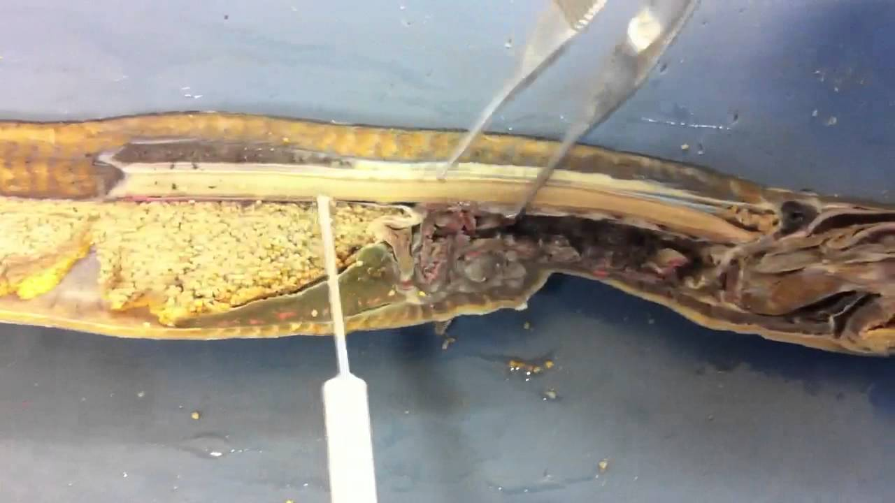 Comparative Dissection Of Adult Lamprey Petromyzon Youtube