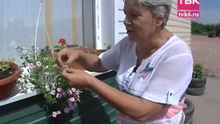 видео Калибрахоа. Выращивание из семян и уход