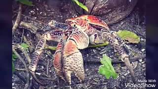Tamatoa de moana  es  inspirado por el cangrejo cocotero