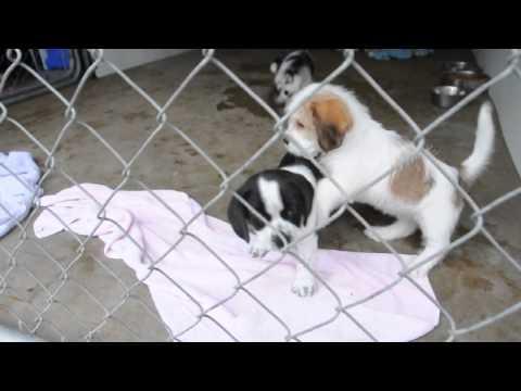 Shih Tzu puppy video   FunnyDog.TV