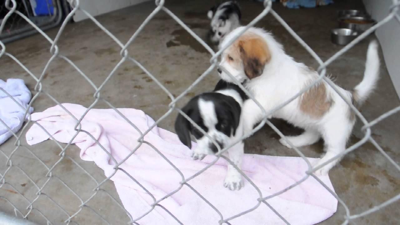 Rescue Pups Shih Tzu Boston Terrier Mix Pups Available Aug 10