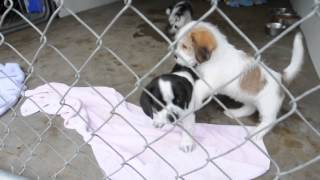 Rescue Pups - Shih Tzu Boston Terrier Mix? Pups Available Aug 10 2013