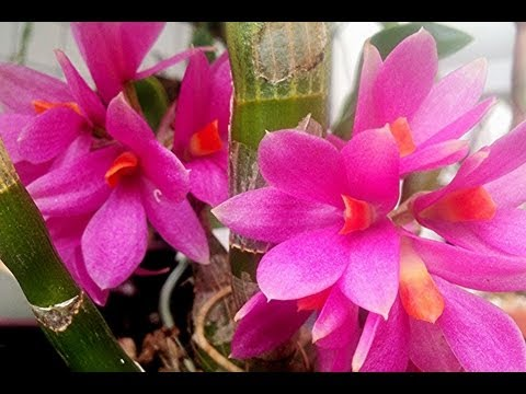 """How to grow Orchids"" An Orchid Greenhouse Tour : Big BLOOMS, Little FLOWERS and my PICKLE Orchid"