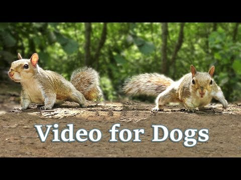 TV for Dogs : Videos for Dogs to Watch - Squirrels
