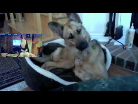 German Shepherd Confused by Talking Husky