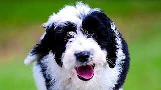 Sheepadoodle  Top 10 Pros and Cons of Owning a