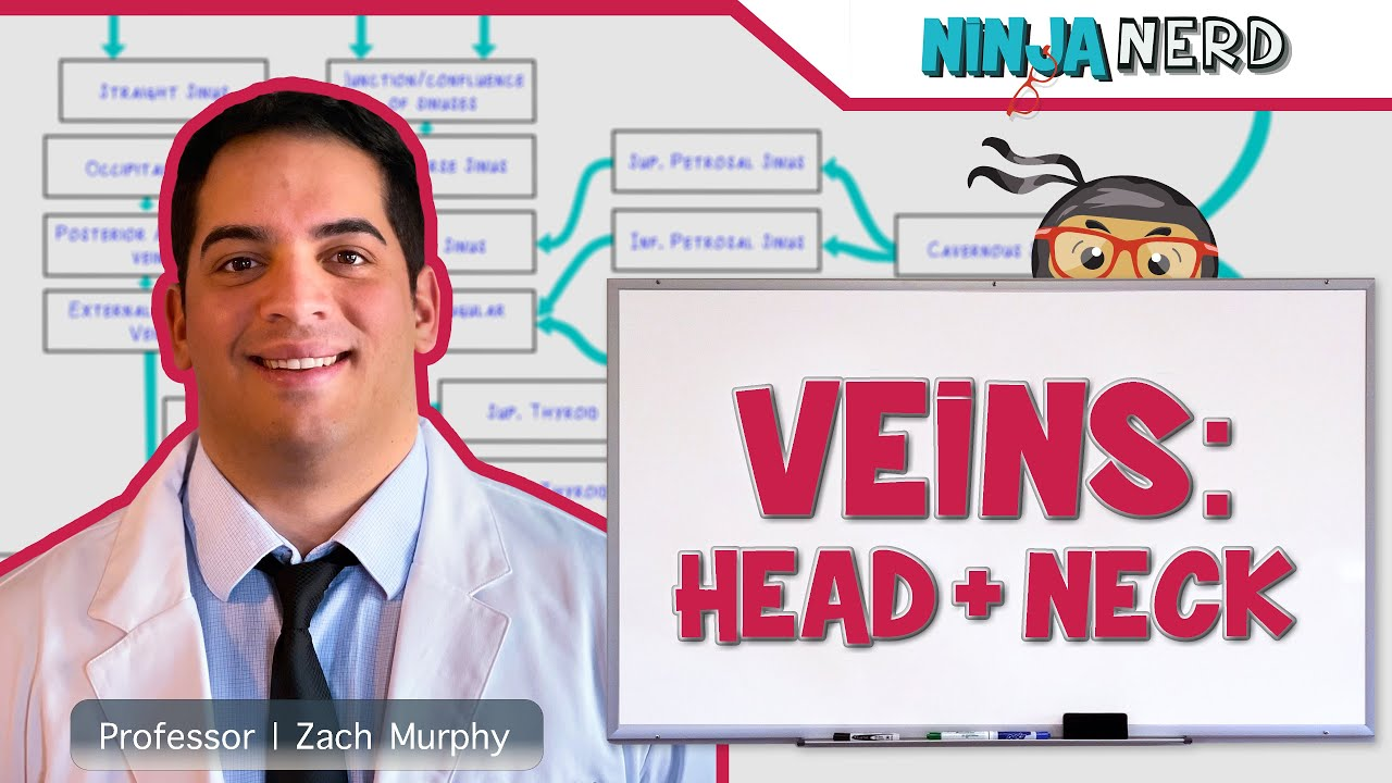 circulatory system | veins of the head & neck | flow chart