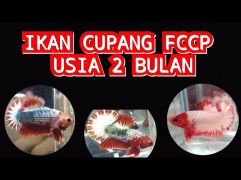 Unplastic Ikan Cupang Fccp Youtube