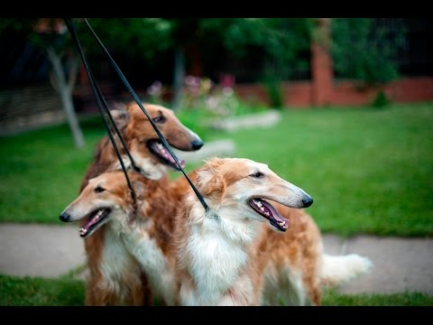 Russia's Borzoi Dog Illuminates the Country's Soul