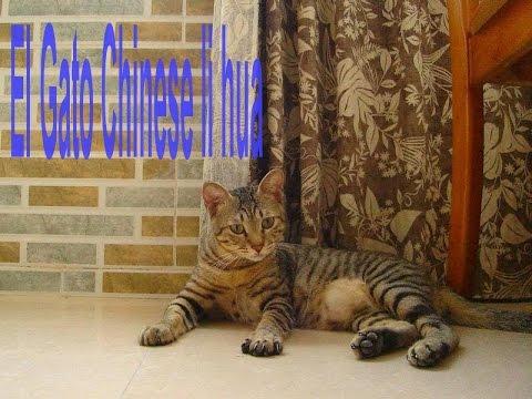 El Gato Chinese li hua - Razas de gatos
