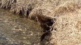 Tuscarawas river mink