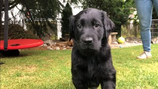 7 weeks old PUPPIES | Flatcoated retriever