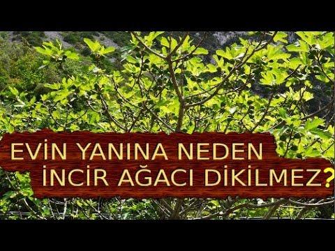 Neden Evin Yanına İncir Ağacı Dikilmez?