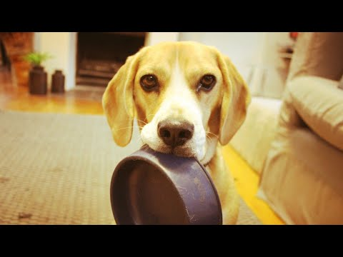 Most Intelligent Dog Breeds #Beagle #Best #Play