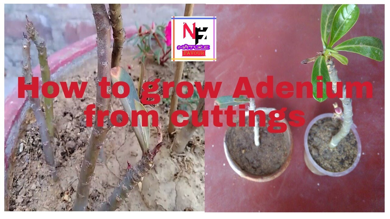 how to grow adenium from cuttings