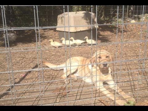 DOGS! a farm / hunting dog