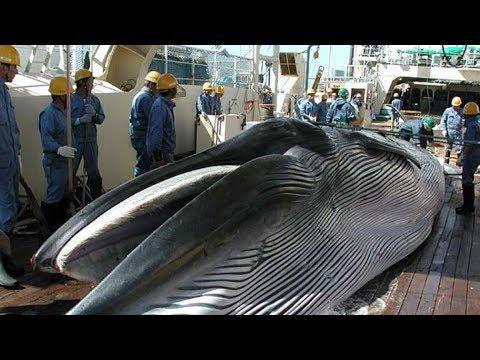 Japón restablece la caza comercial de ballenas