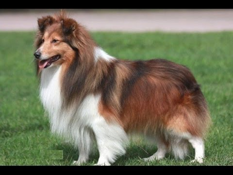 Шотландская овчарка (Collie, Scotch Collie). Породы собак (Dog Breed)