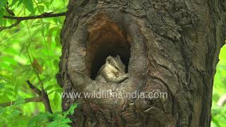 Squirrel tries to invade Common Myna nest with hatchlings -  Action in Neem tree hollow