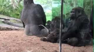 Silverback Gorilla Sucker Punches Another Unruly Gorilla @ The San Diego Zoo