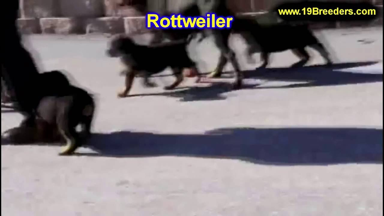 Rottweiler Puppies Dogs For Sale In Louisville