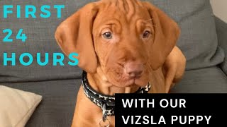 First 24 hours with our vizsla puppy