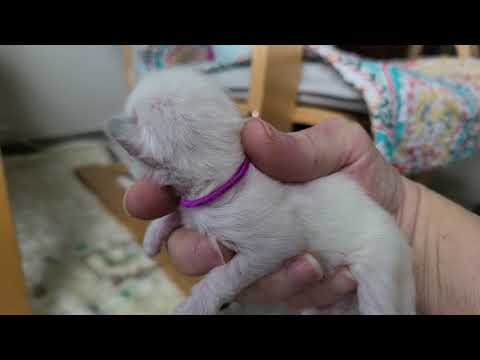 Cinnamon point Siamese kittens