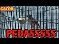 Murai Batu Gacor Tembakan Rapat  Mp3 - Mp4 Download