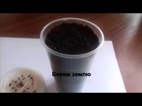 видео: Эхинацея выращивание из семян