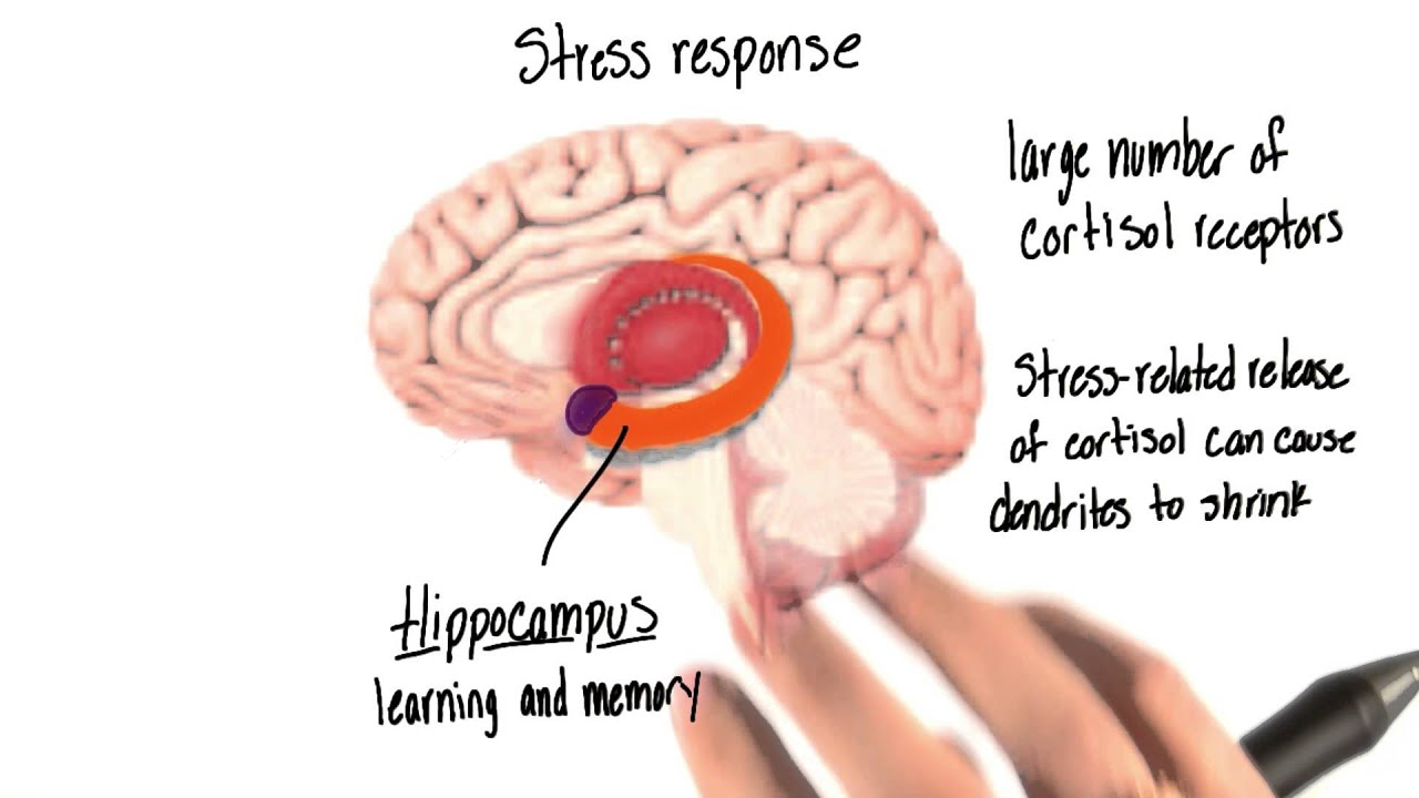 Stress response in the brain - Intro to Psychology - YouTube