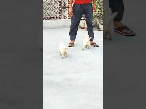 Petshop for Golden Retriever 9212501257 Golden Retriever dog for sale in Delhi Gurgaon petshop