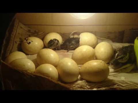 Cara menetaskan telur burung belibis memakai lampu