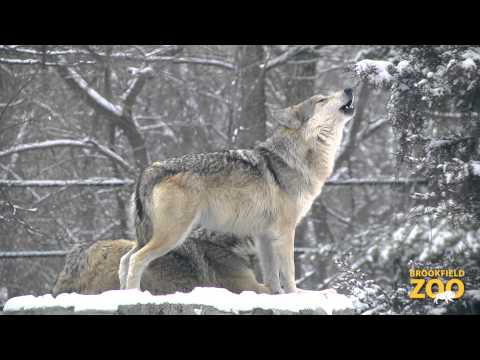 Bison and Wolves in the Snow at Brookfield Zoo