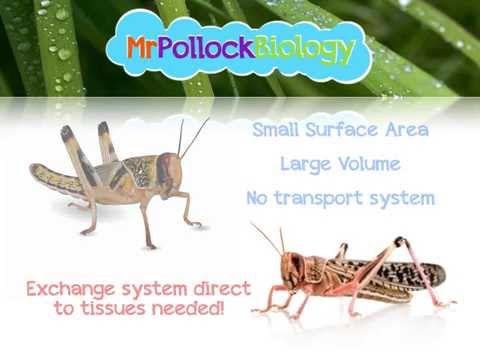 Gas Exchange in Insects