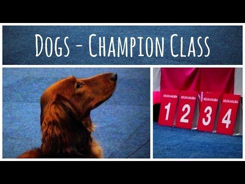 World Dog Show 2017 | Standard Dachshund long-haired (Dogs - Champion Class)