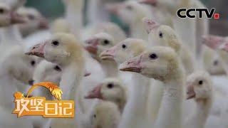 《攻坚日记》和乐村里和乐事(4):落实鹅雏归宿 年底统一分红 20200722 | CCTV农业 - YouTube