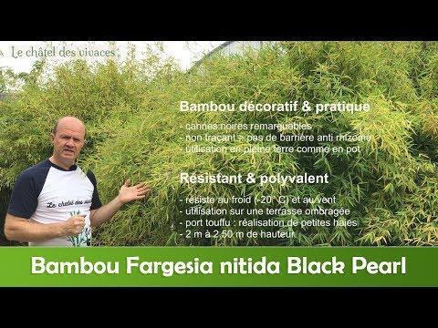 Bambou Fargesia Nitida Black Pearl