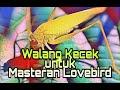 Masteran Walang Kecek Kasar Untuk Lovebird Juara  Mp3 - Mp4 Download