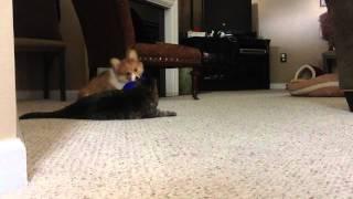 Ed The Corgi Loves Tuna The Cat