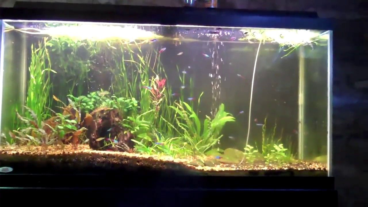 How to keep neon tetras planted tank with neon tetra for Neon fish tank
