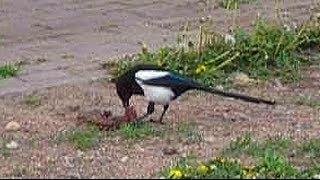 Сорока птица. Чем питается сорока. Сорока ест мясо. Сорока птица видео