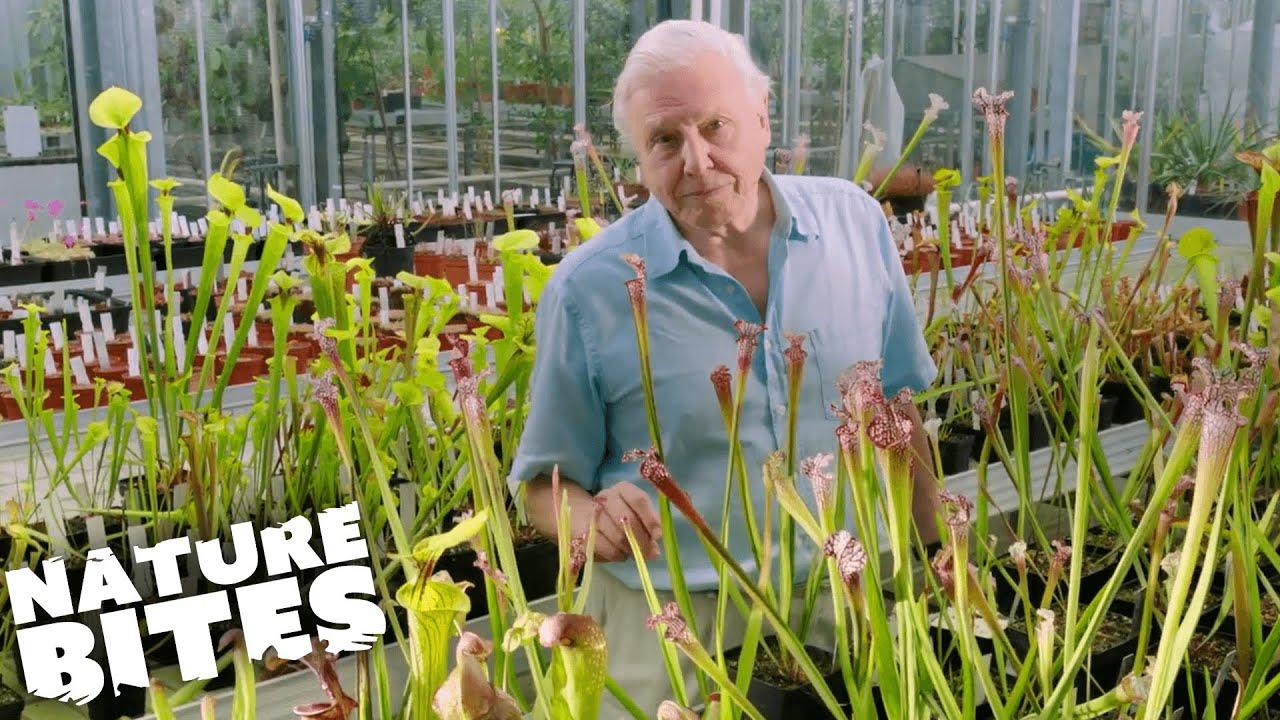 Download David Attenborough and the Deadly Venus Flytrap   Nature Bites