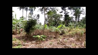 Plantain Fruit Farm in Cameroon Africa | Tea Pursuit