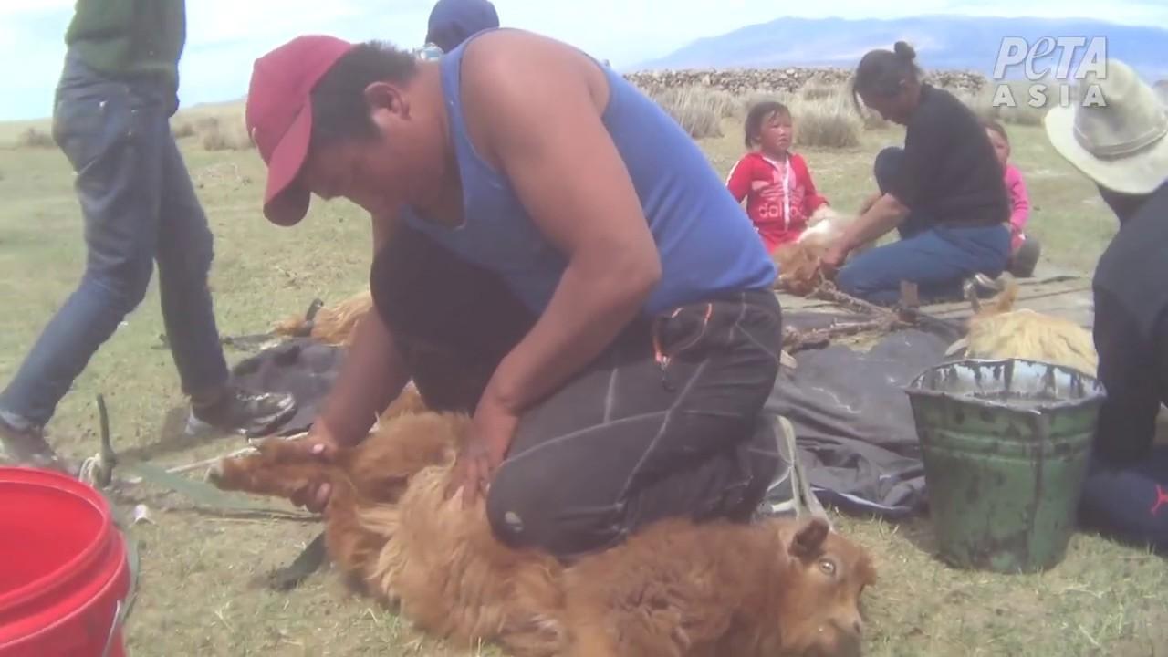 Монгол Улсын ноолуурын аж ахуй - дэлгэрэнгүй бичлэг