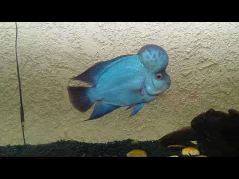 Model Thai Silk Flowerhorn Relaxing