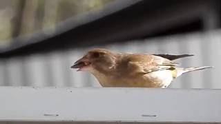 Зеленушка - редкая птица в городе