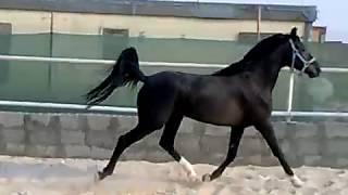 المشهر حصان عربي أسود