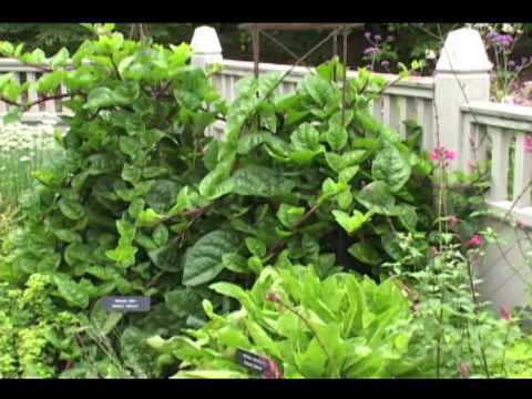 Malabar Spinach A Great Plant For Your Garden And