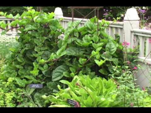 malabar spinach - great plant