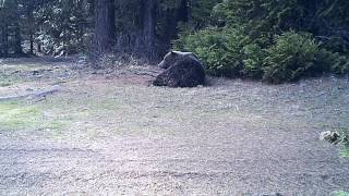 Grizzly bear caught on motion-triggered video camera; Colville National Forest